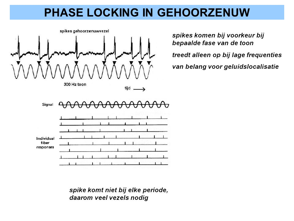 PHASE LOCKING IN GEHOORZENUW