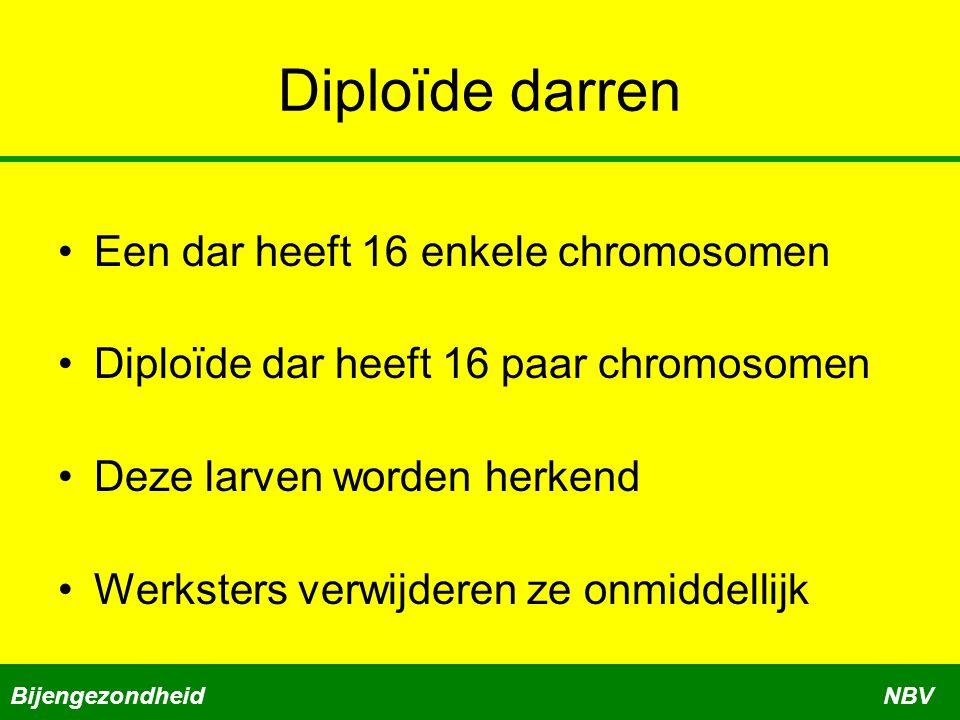 Diploïde darren Een dar heeft 16 enkele chromosomen