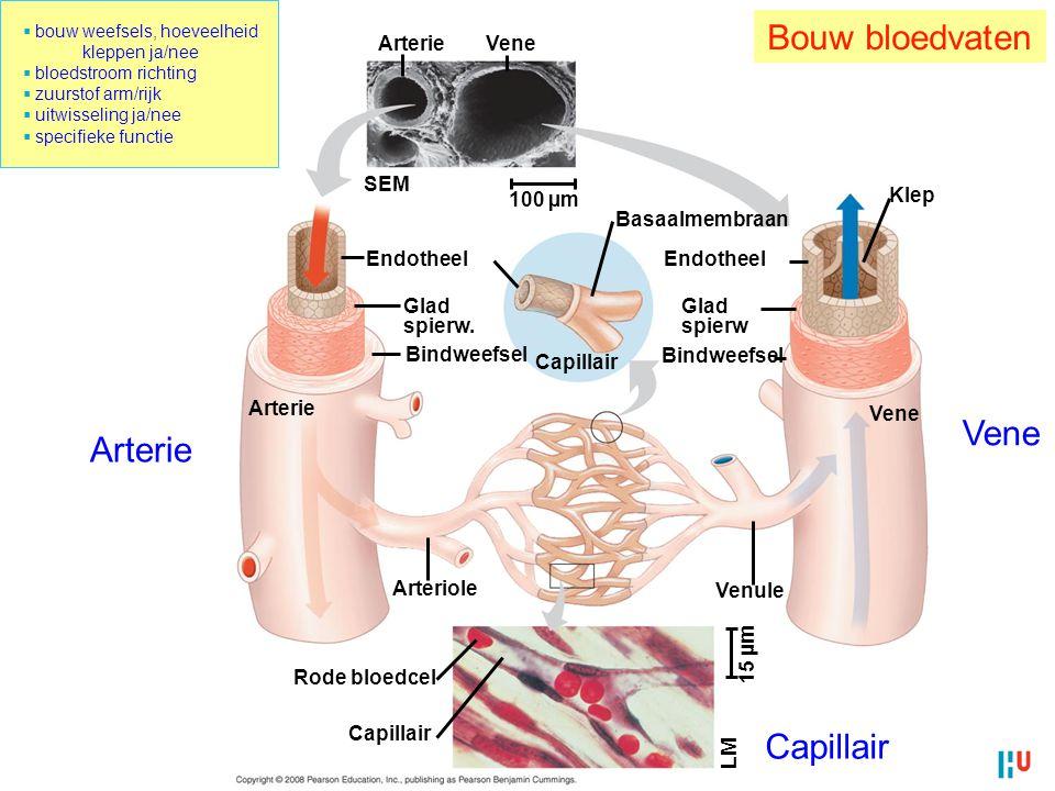 Bouw bloedvaten Arterie Vene SEM 100 µm Endotheel Glad spierw.