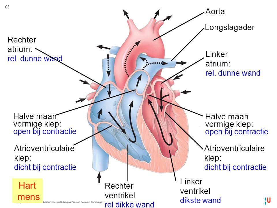 Hart mens Aorta Longslagader Rechter atrium: Linker atrium: Halve maan