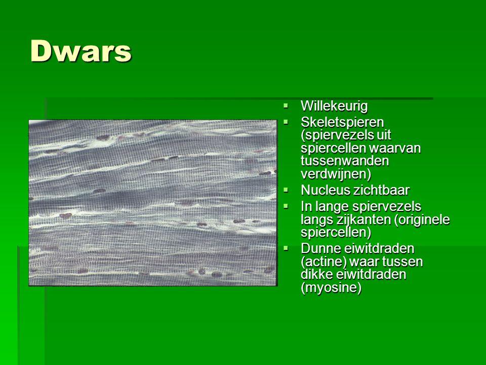 Dwars Willekeurig. Skeletspieren (spiervezels uit spiercellen waarvan tussenwanden verdwijnen) Nucleus zichtbaar.
