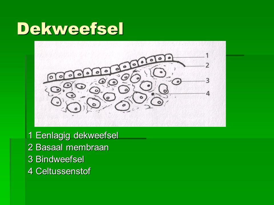 Dekweefsel 1 Eenlagig dekweefsel 2 Basaal membraan 3 Bindweefsel