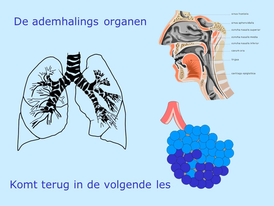 De ademhalings organen