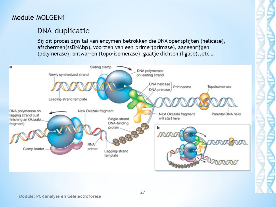DNA-duplicatie Module MOLGEN1
