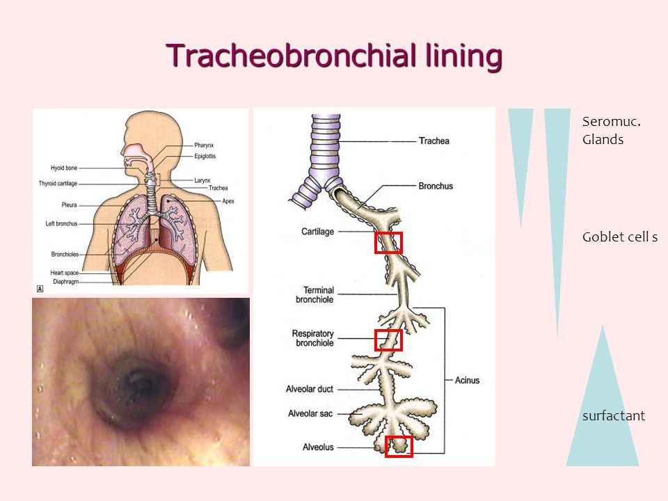Tracheobronchial lining
