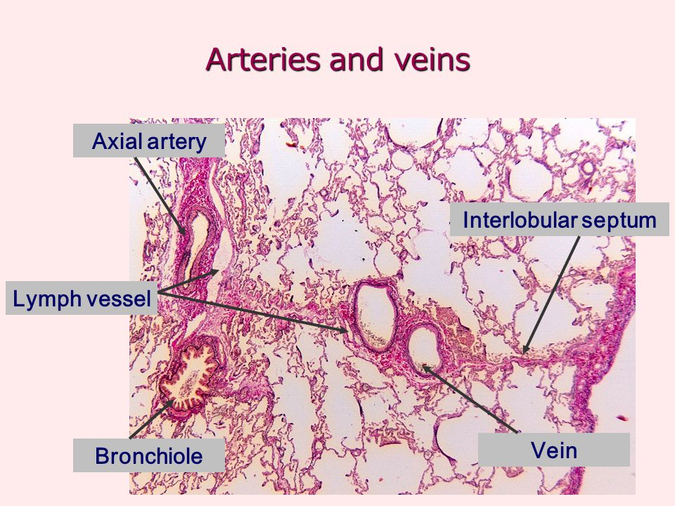 Arteries and veins Axial artery Interlobular septum Lymph vessel Vein