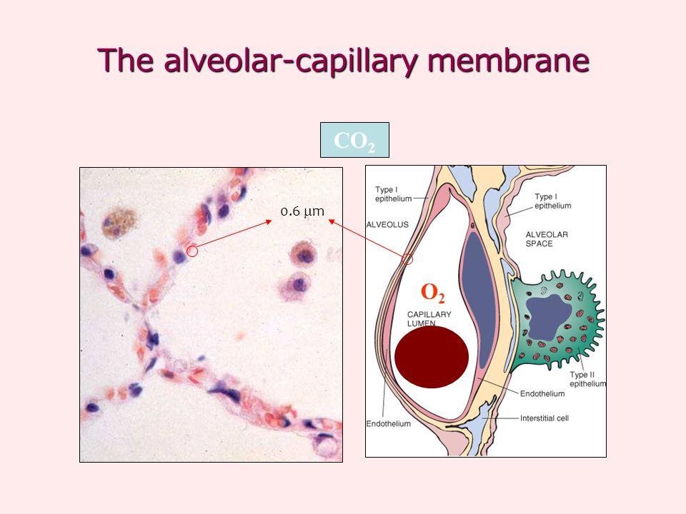 The alveolar-capillary membrane