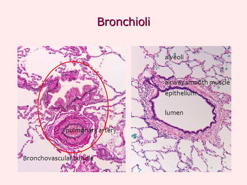 Bronchioli alveoli airway smooth muscle epithelium lumen