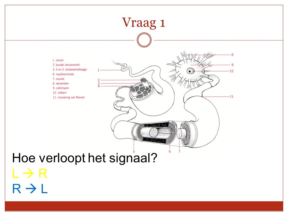 Vraag 1 Hoe verloopt het signaal L  R R  L