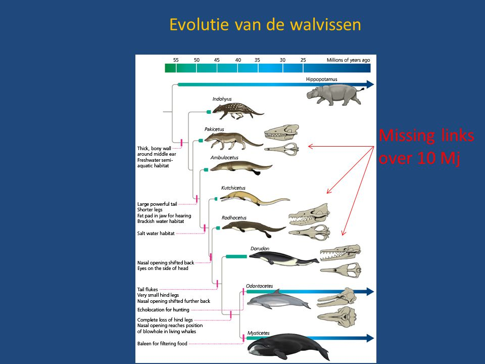 Evolutie van de walvissen