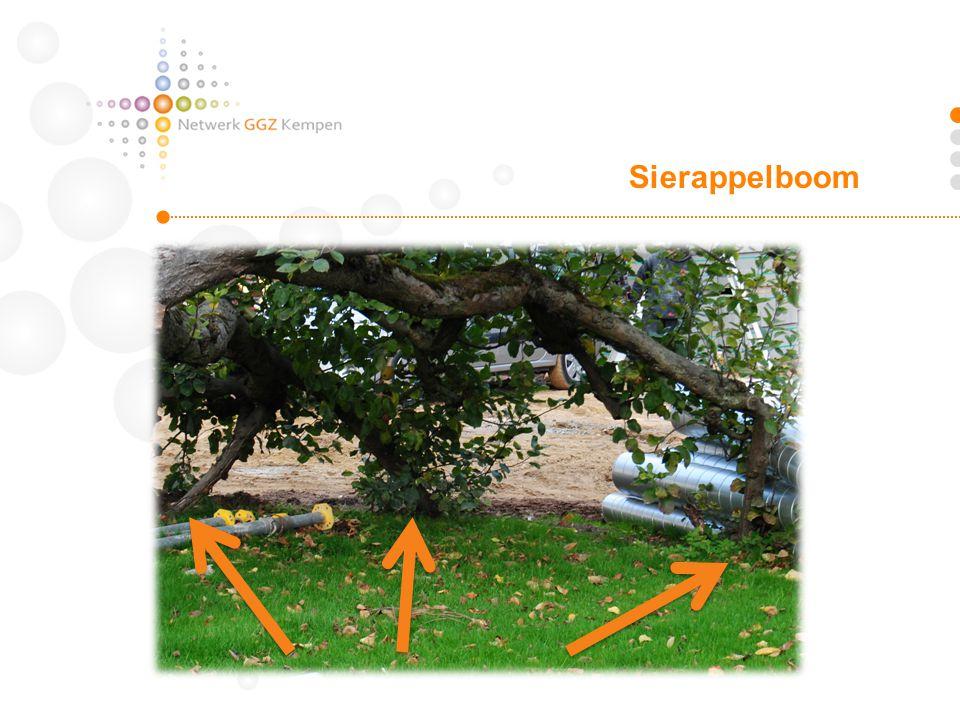 Sierappelboom Knak gekregen, maar staat nu steviger dan eerst.