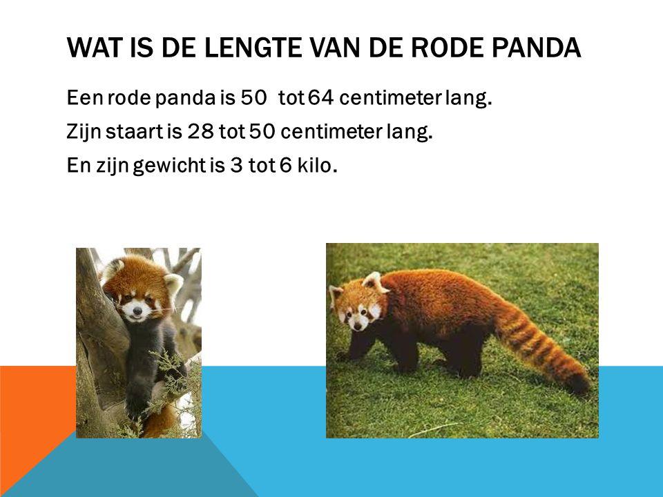 Wat is de lengte van de rode panda
