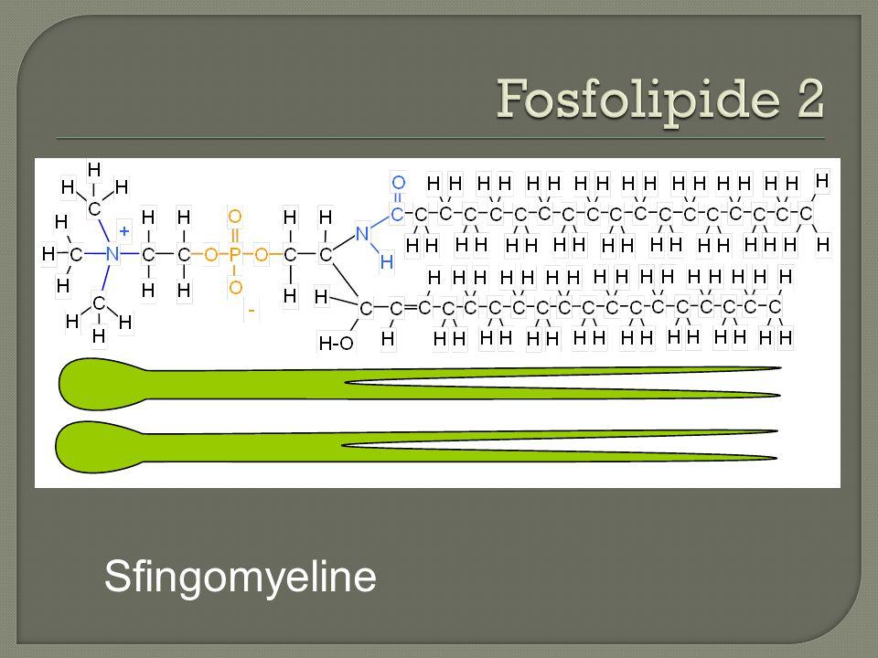 Fosfolipide 2 Sfingomyeline