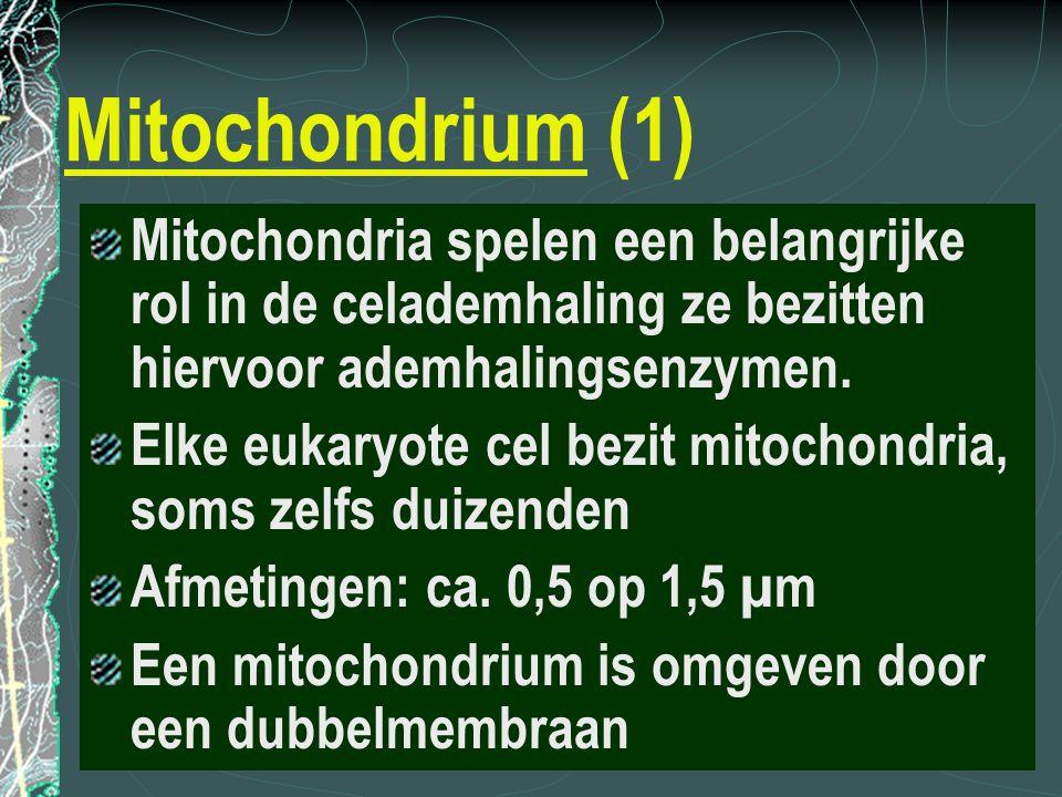 Mitochondrium (1) Mitochondria spelen een belangrijke rol in de celademhaling ze bezitten hiervoor ademhalingsenzymen.