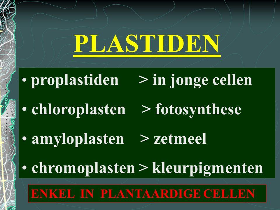 PLASTIDEN chloroplasten > fotosynthese amyloplasten > zetmeel