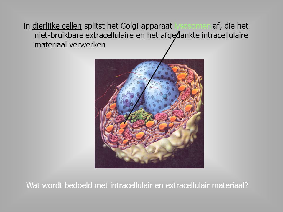 in dierlijke cellen splitst het Golgi-apparaat lysosomen af, die het niet-bruikbare extracellulaire en het afgedankte intracellulaire materiaal verwerken