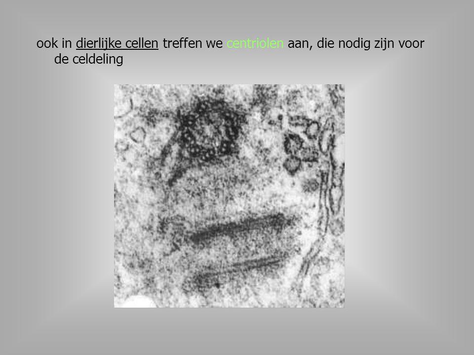 ook in dierlijke cellen treffen we centriolen aan, die nodig zijn voor de celdeling