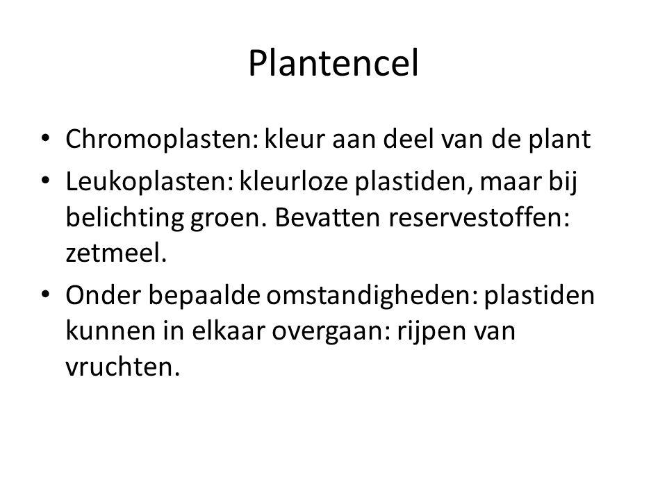 Plantencel Chromoplasten: kleur aan deel van de plant