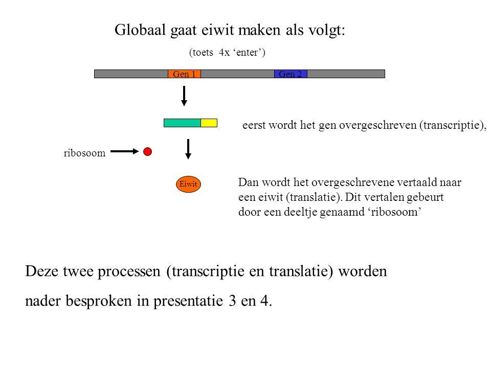 Globaal gaat eiwit maken als volgt: