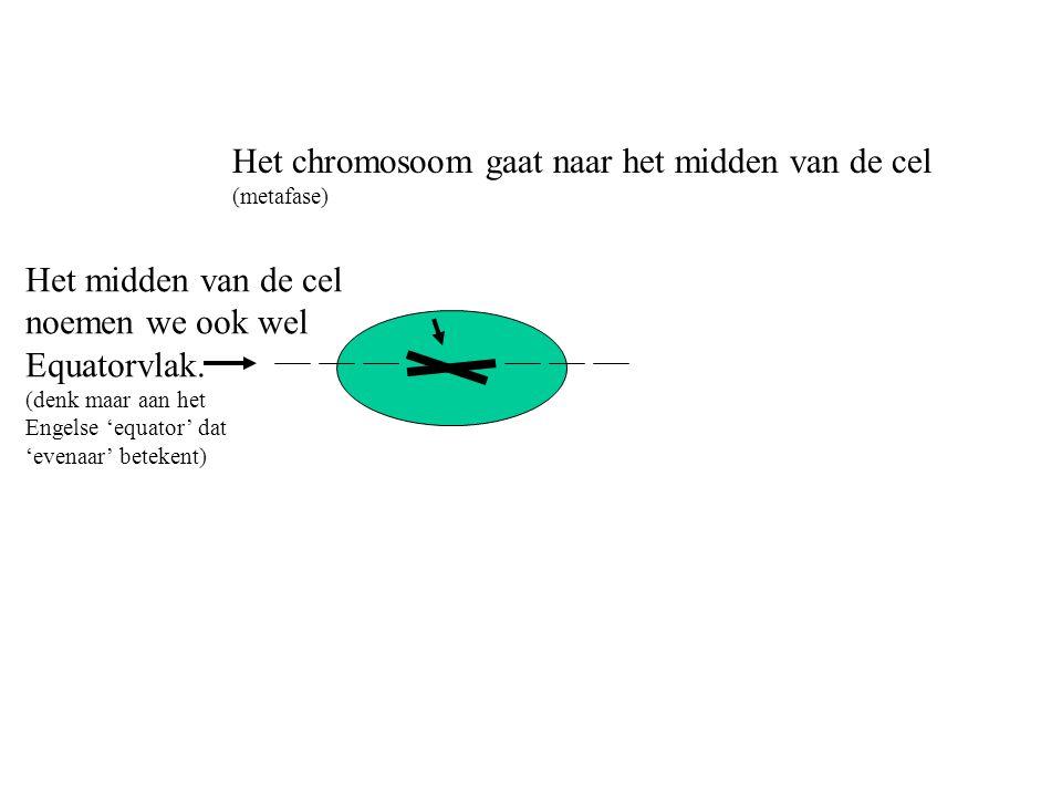 Het chromosoom gaat naar het midden van de cel