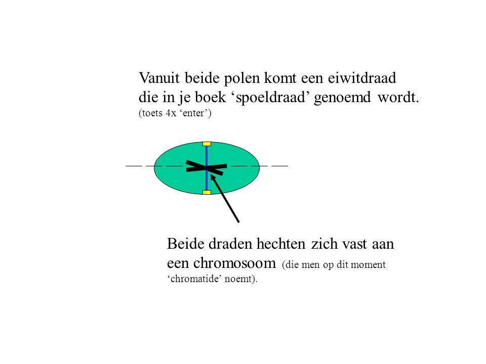 Vanuit beide polen komt een eiwitdraad