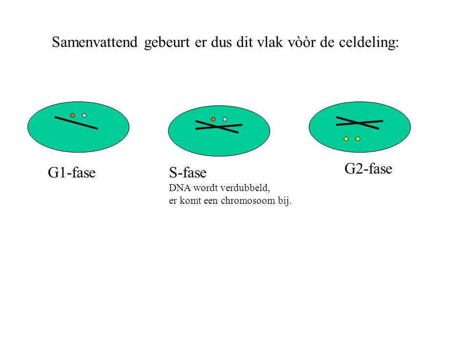 Samenvattend gebeurt er dus dit vlak vòòr de celdeling: