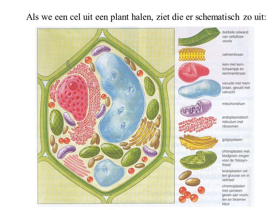Als we een cel uit een plant halen, ziet die er schematisch zo uit: