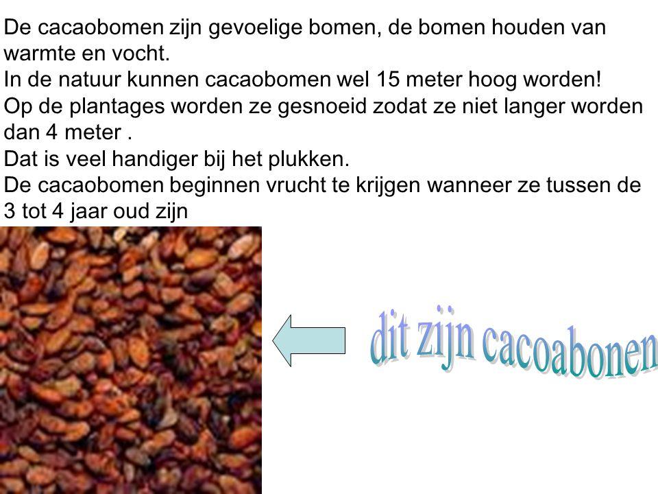 In de natuur kunnen cacaobomen wel 15 meter hoog worden!
