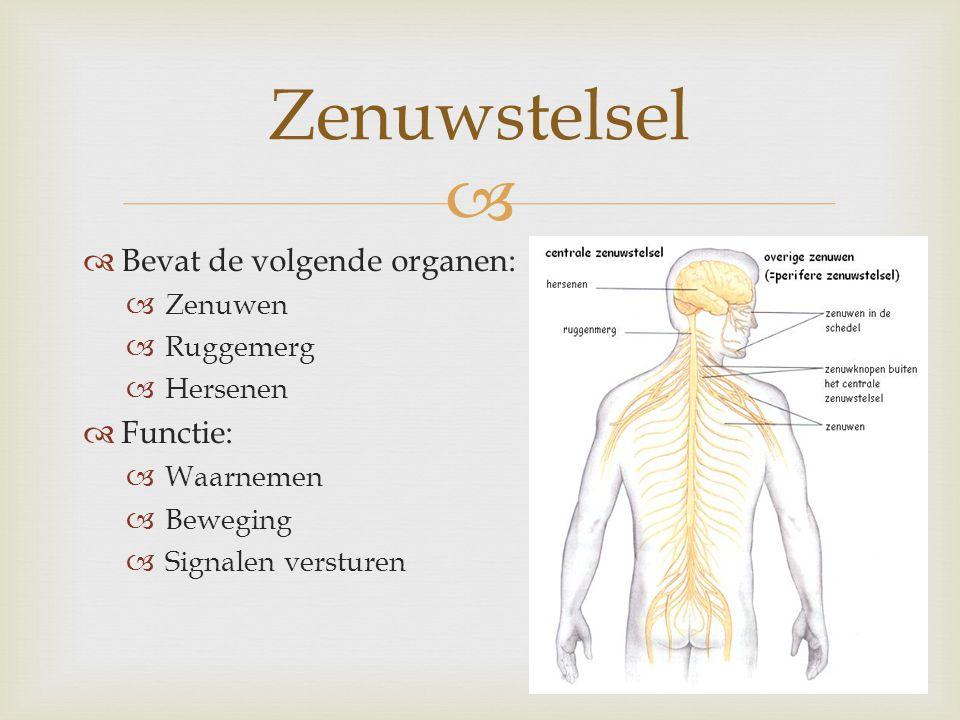Zenuwstelsel Bevat de volgende organen: Functie: Zenuwen Ruggemerg