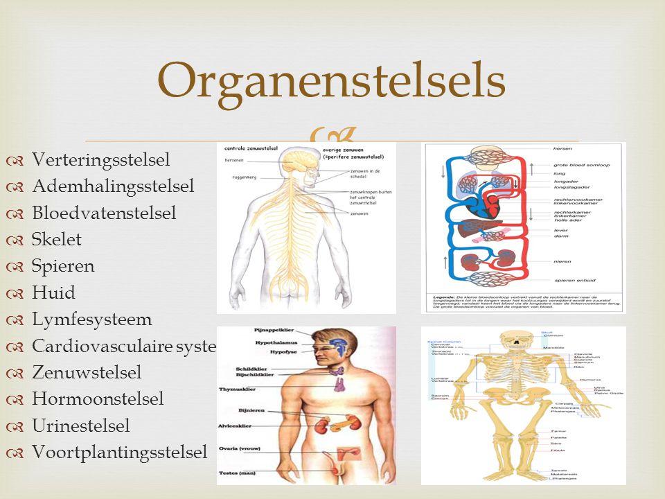 Organenstelsels Verteringsstelsel Ademhalingsstelsel Bloedvatenstelsel