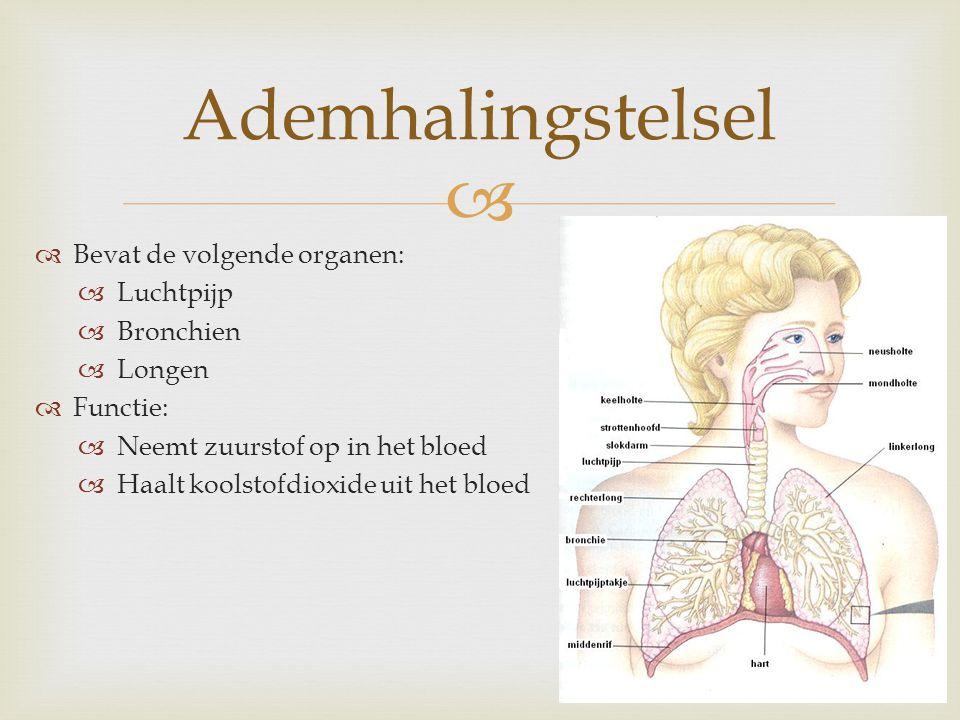 Ademhalingstelsel Bevat de volgende organen: Luchtpijp Bronchien