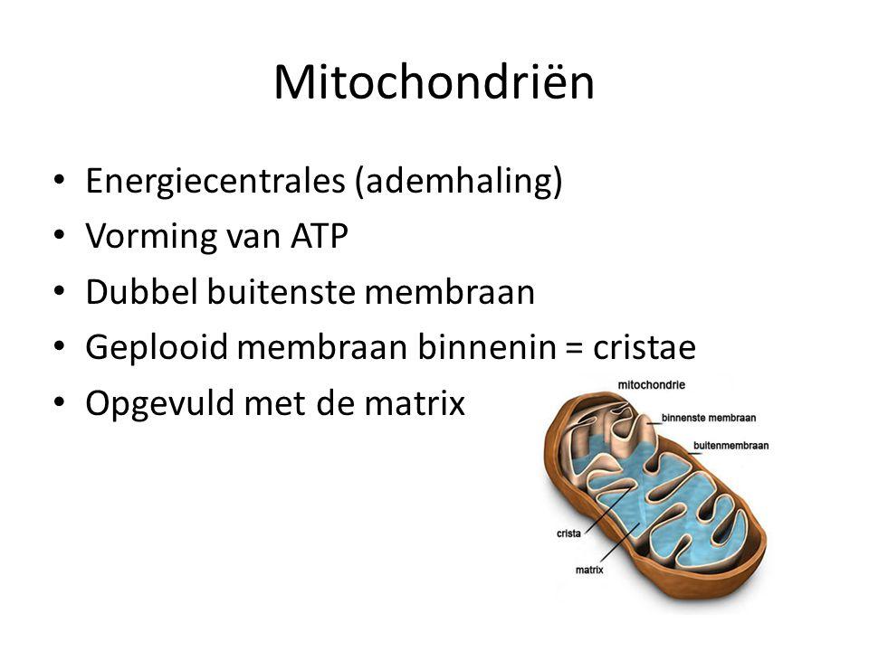 Mitochondriën Energiecentrales (ademhaling) Vorming van ATP