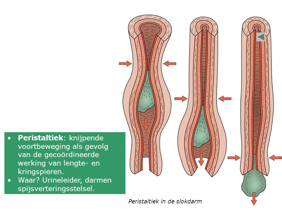 Waar Urineleider, darmen spijsverteringsstelsel.