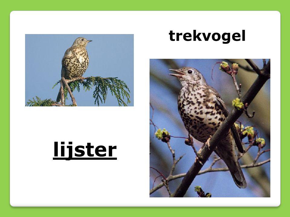 trekvogel lijster