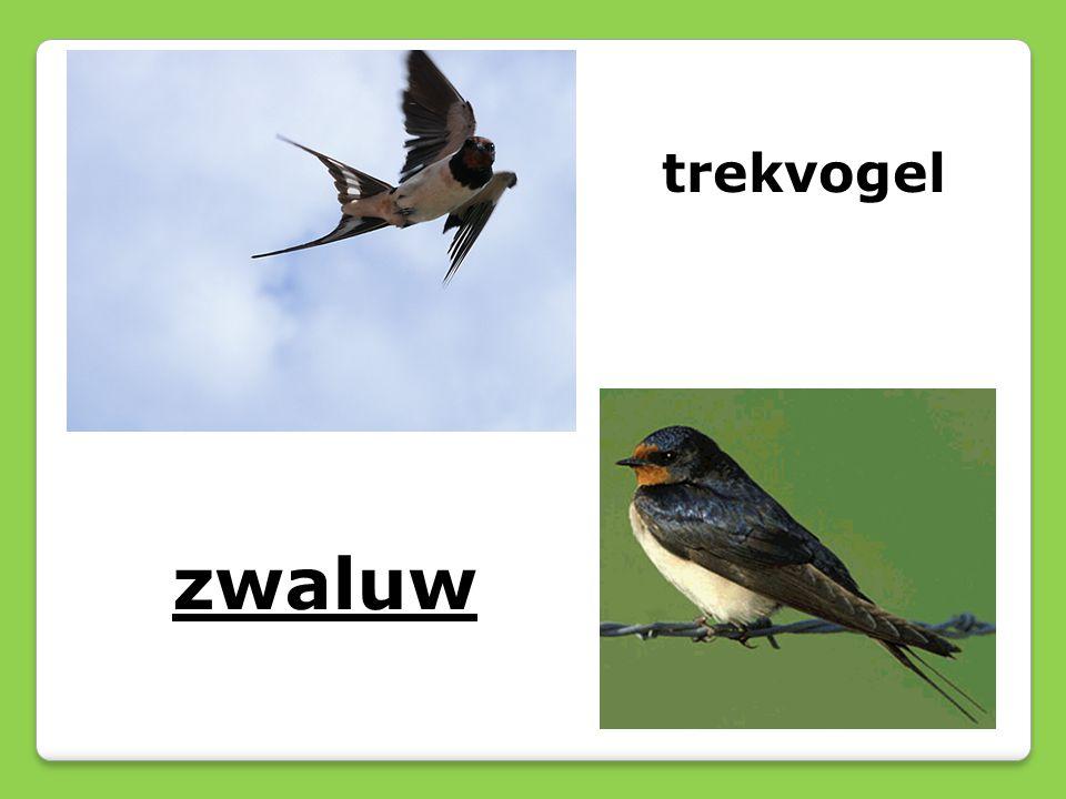trekvogel zwaluw