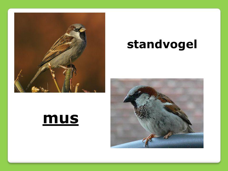 standvogel mus