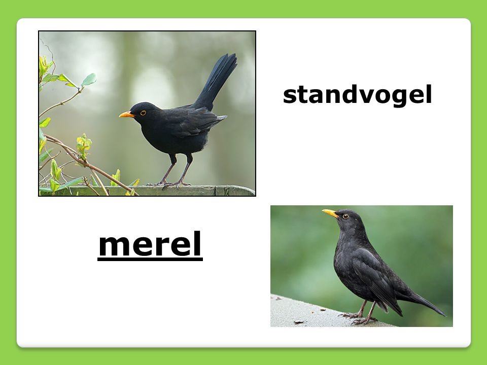standvogel merel