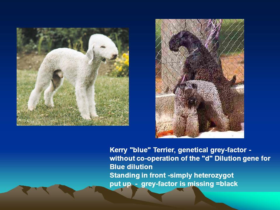 Kerry blue Terrier, genetical grey-factor - without co-operation of the d Dilution gene for Blue dilution Standing in front -simply heterozygot put up - grey-factor is missing =black