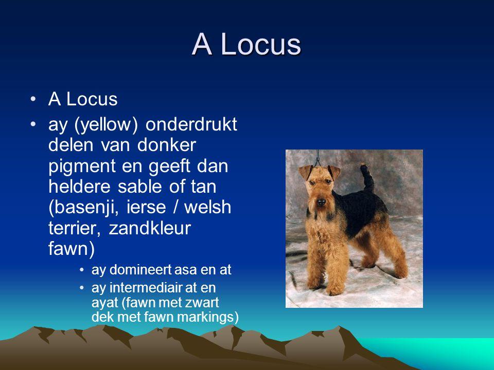 A Locus A Locus. ay (yellow) onderdrukt delen van donker pigment en geeft dan heldere sable of tan (basenji, ierse / welsh terrier, zandkleur fawn)