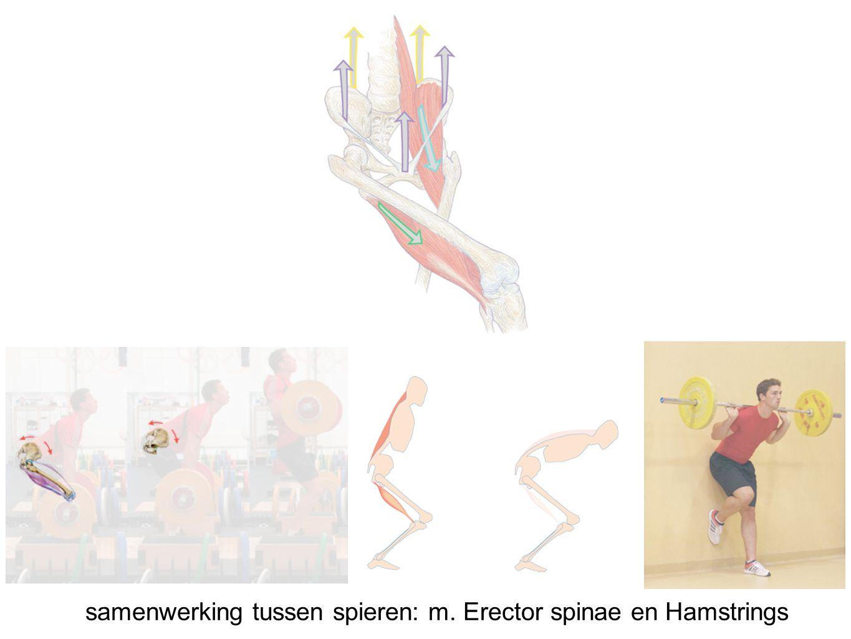 samenwerking tussen spieren: m. Erector spinae en Hamstrings