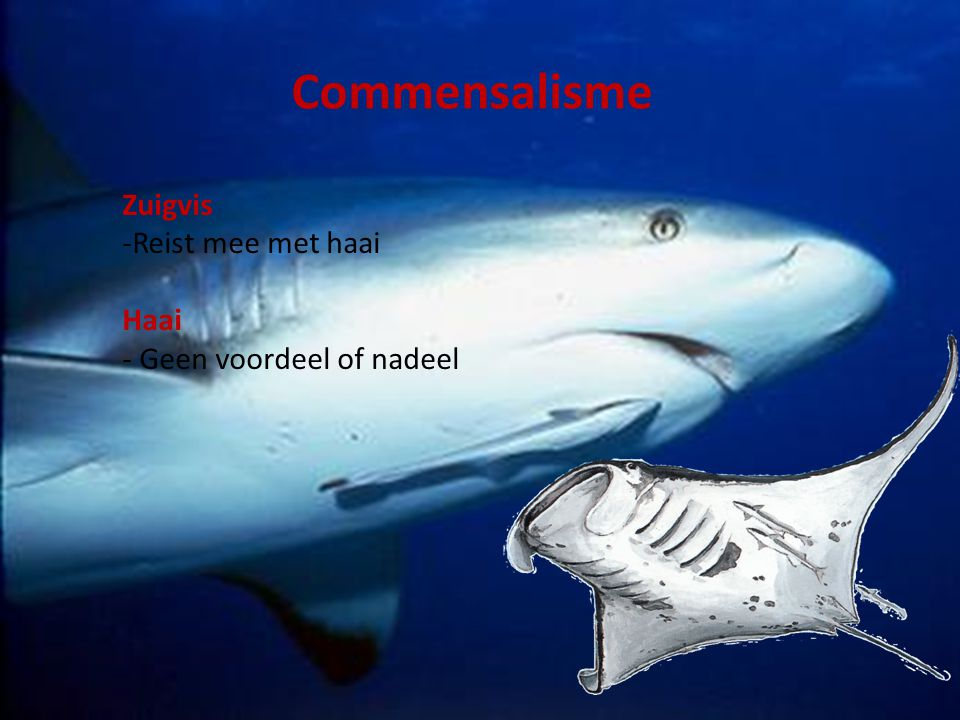 Commensalisme Zuigvis Reist mee met haai Haai