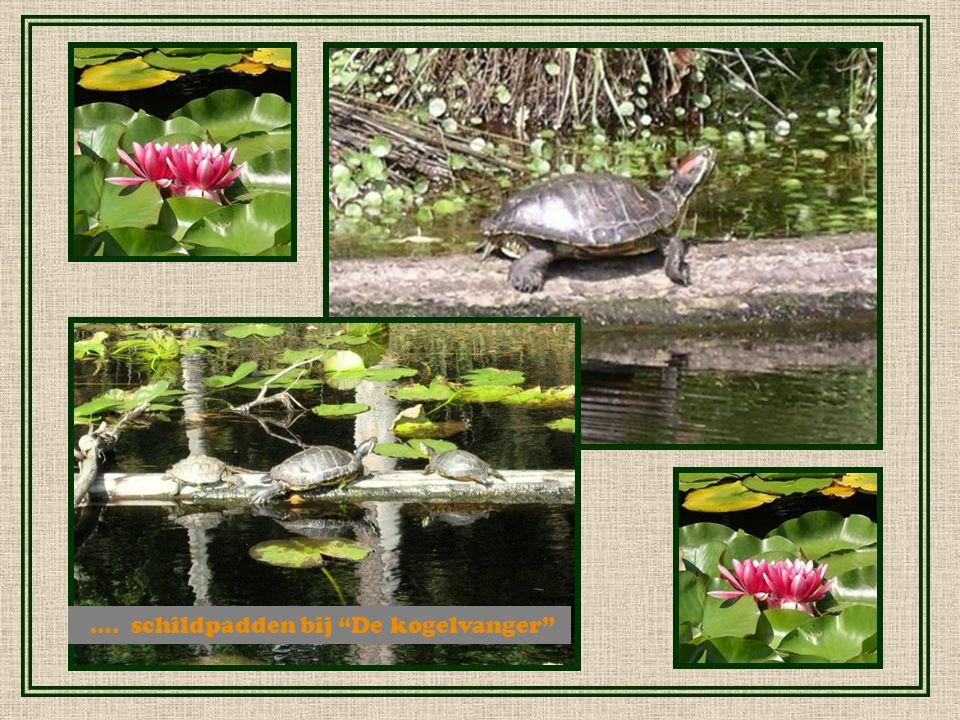 …. schildpadden bij De kogelvanger