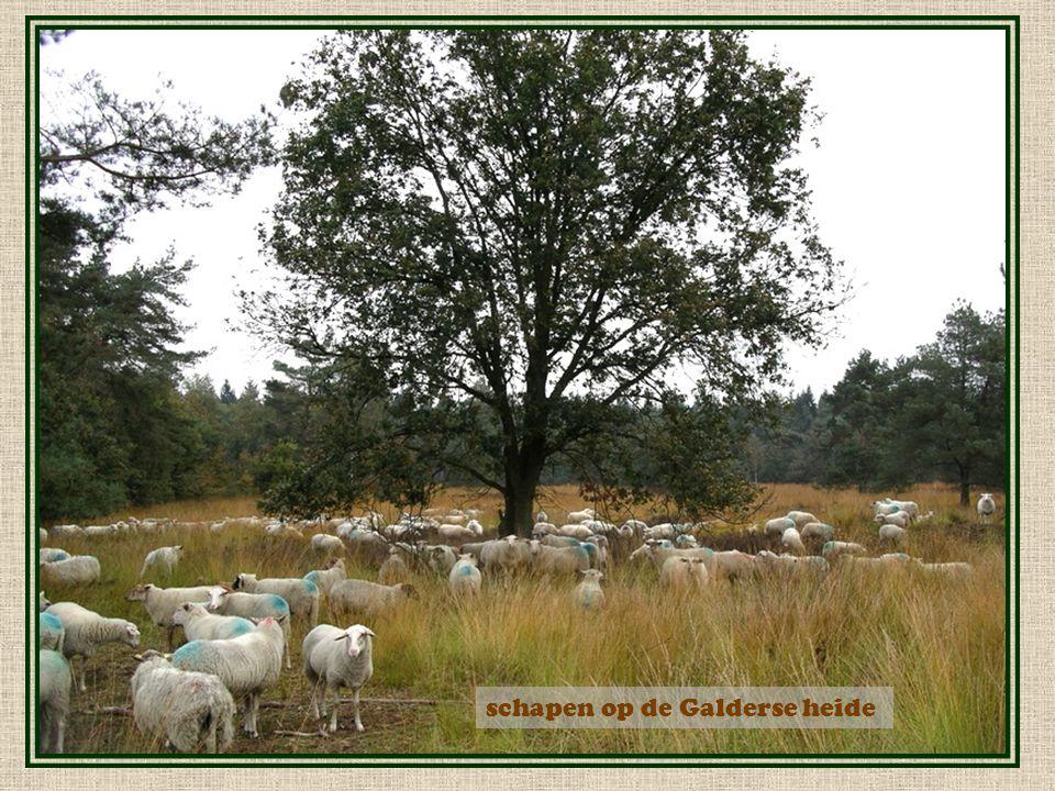 schapen op de Galderse heide