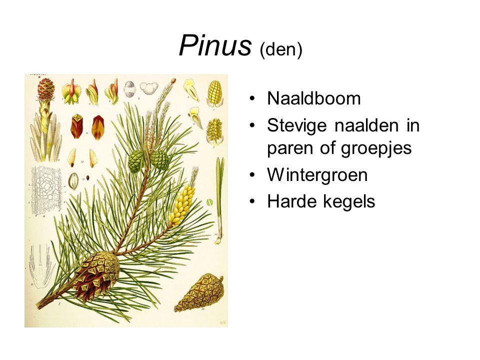 Pinus (den) Naaldboom Stevige naalden in paren of groepjes Wintergroen