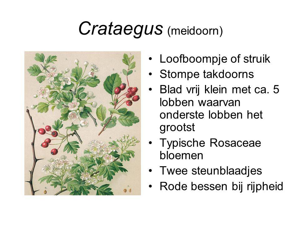 Crataegus (meidoorn) Loofboompje of struik Stompe takdoorns