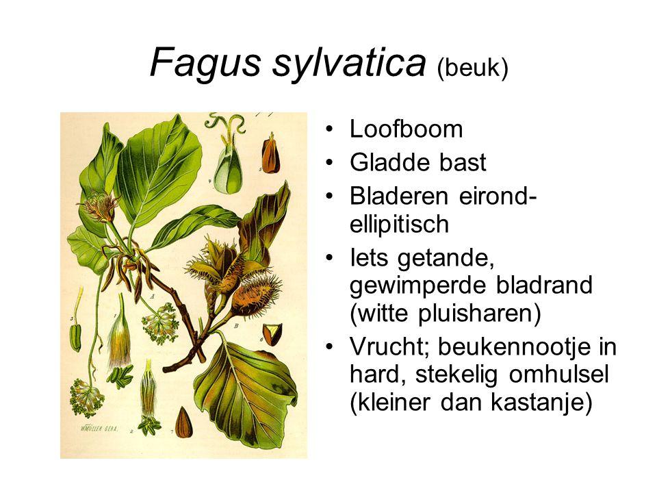 Fagus sylvatica (beuk)