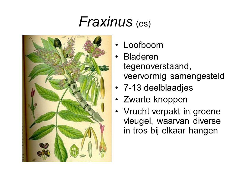 Fraxinus (es) Loofboom