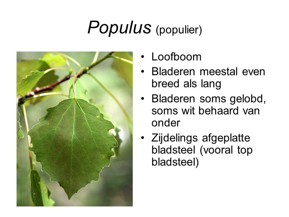 Populus (populier) Loofboom Bladeren meestal even breed als lang