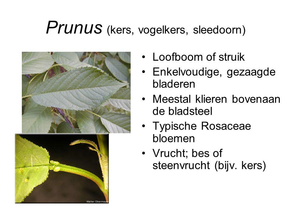 Prunus (kers, vogelkers, sleedoorn)