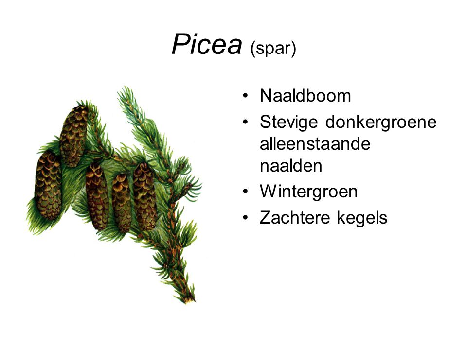 Picea (spar) Naaldboom Stevige donkergroene alleenstaande naalden